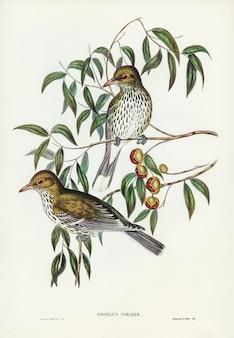 New south wales oriole (oriolus viridis) ilustrado por elizabeth gould