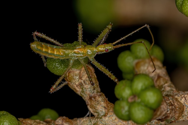 Ninfa do inseto assassino da tribo harpactorini