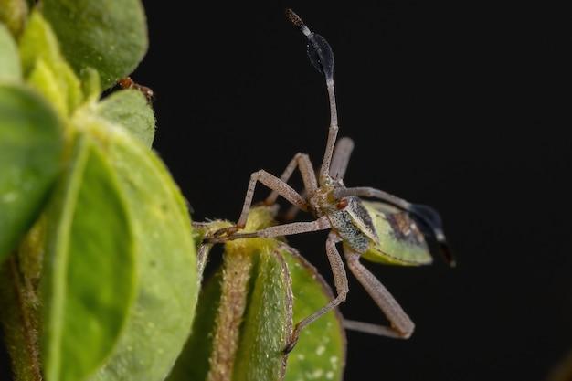 Ninfa do inseto pateta da espécie athaumastus haematicus