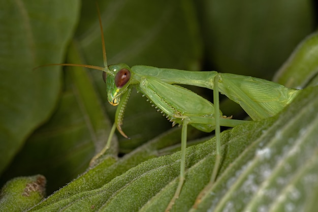Ninfa do mantis fotinídeo verde da tribo photinaini