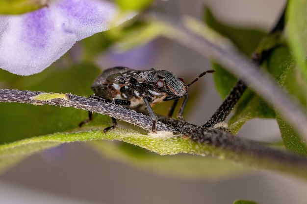 Ninfa do percevejo da família pentatomidae que imita formigas tartaruga cefalotas