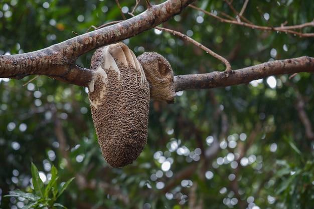 Ninho de abelha em árvore pantaneira