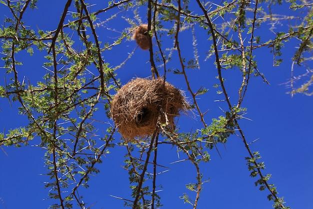 Ninho de pássaro no safari no quênia e na tanzânia, áfrica
