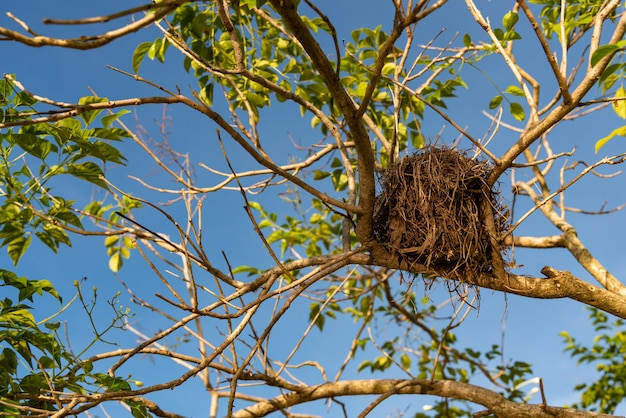 Ninho de pássaro velho na árvore