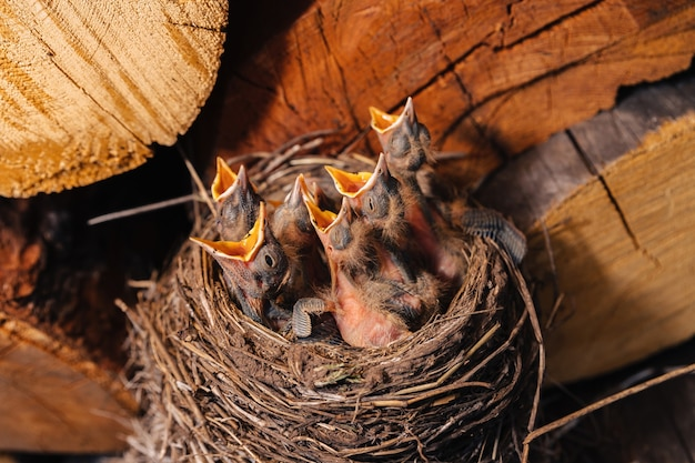 Ninho de sabiá. ninho de pássaro no galpão de madeira. melro de pintinhos recém-nascidos. filhotes famintos erguem os olhos, abrem o bico e choram.