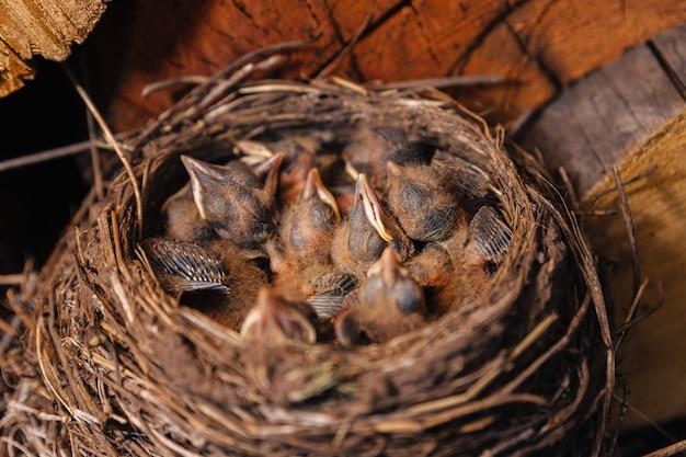 Ninho de sabiá. ninho de pássaro no galpão de madeira. melro de pintinhos recém-nascidos. os filhotes dormem em um ninho de palha.