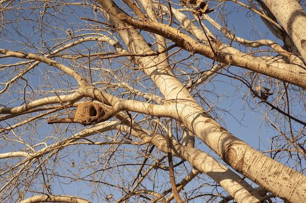 Ninho de um pássaro hornero rufous em uma árvore de choupo prateado