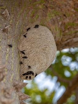 Ninho de vespas de papel do gênero parachartergus