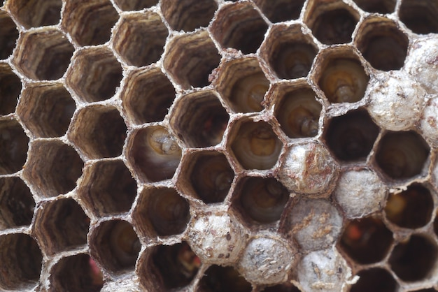 Ninho de vespas