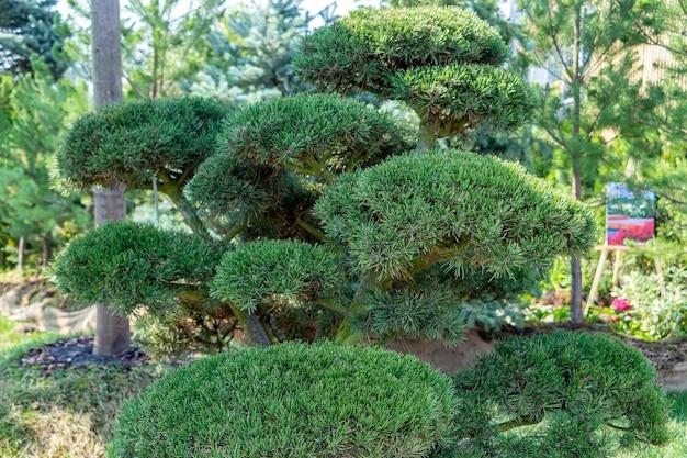 Nivaki ou garden bonsai. paisagem com pinheiro no jardim no dia de verão. padrão botânico atmosférico com belas coníferas ramo contra o céu azul.