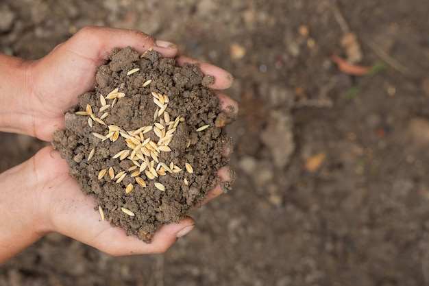 No dia mundial da alimentação, a mão de um homem envolve o solo com sementes de arroz por cima.