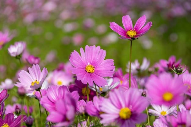 No início da manhã, as flores dos crisântemos persas de todas as cores carregam orvalho