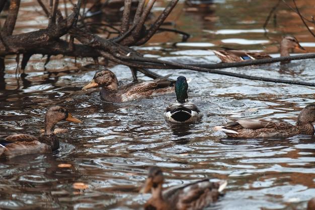 No outono park o drake nada no lago, cercado por patos.