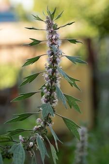 No prado entre as ervas cresce e floresce motherwort medicinal (herba leonuri).