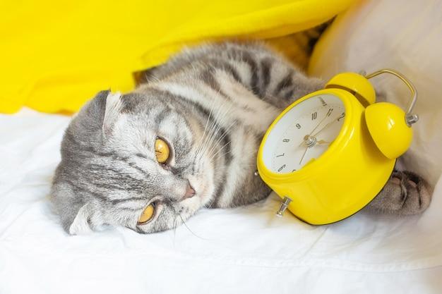 No sofá, um gato listrado cinza e preto com listras escocesas está no sofá, nas patas há um despertador amarelo.