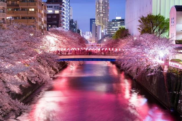 Noite cereja flores acendem
