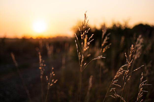 Noite quente de primavera com um prado brilhante e vibrante durante o pôr do sol. silhueta da grama à luz do sol dourado. paisagem de bela natureza com raios solares. grama seca ao sol, ao amanhecer ou ao pôr do sol.