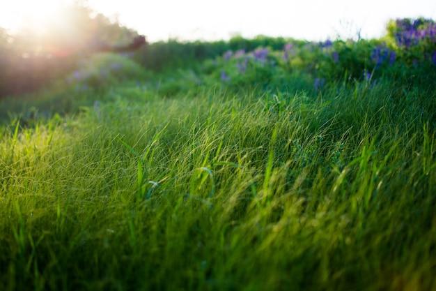 Noite quente de primavera com um prado colorido e vibrante durante o pôr do sol. silhueta da grama à luz do sol dourado.