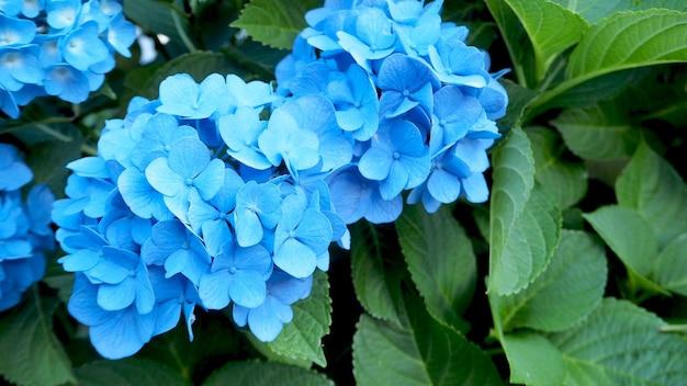 Nome da flor hortênsia, a cor é azul. é produzido do início da primavera ao final do outono.