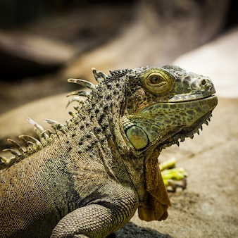 Nome latino: iguana iguana. tamanho 150 cm totalizando