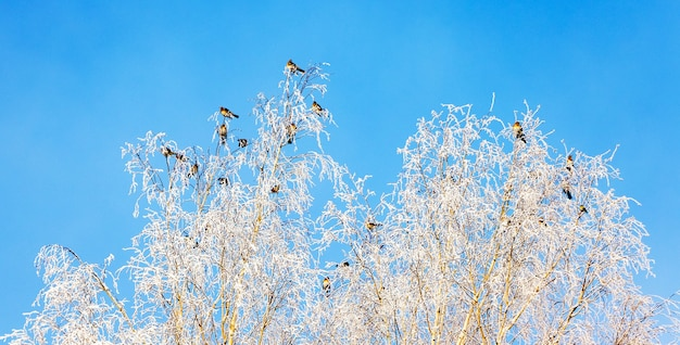 Nos galhos dos pássaros de vidoeiro coberto de neve estão sentados no tempo ensolarado_