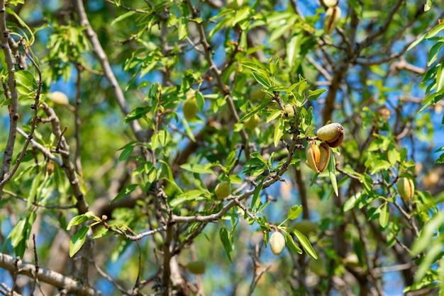 Nova colheita de amêndoas