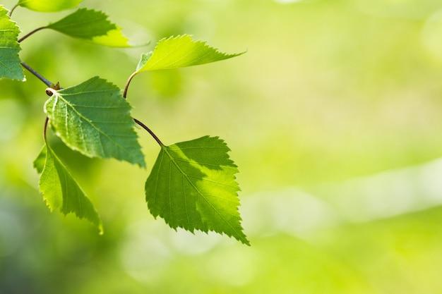 Novas folhas verdes em uma árvores no fundo da primavera
