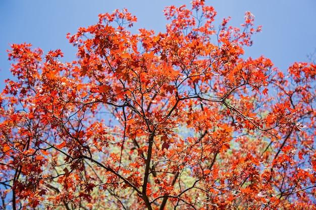 Novas folhas vermelhas e flores de bordo na primavera