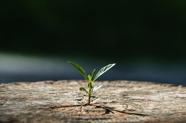 Novo conceito futuro de crescimento de vida, uma muda forte crescendo na velha árvore morta no centro