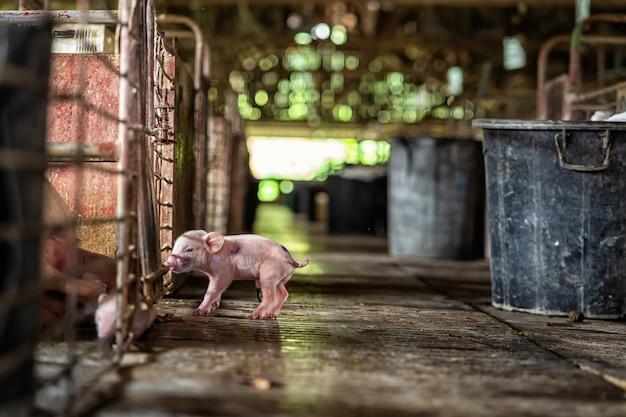 Novo porco nascido em fazendas de suínos, animais e indústria de suínos