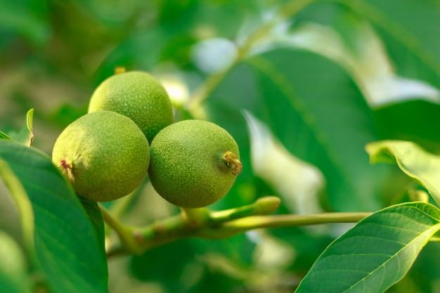 Noz frutas na árvore