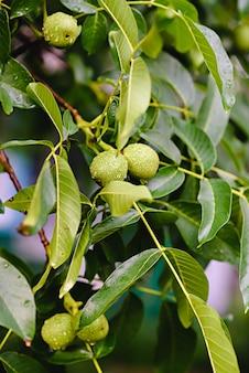 Nozes cruas verdes que crescem em uma árvore