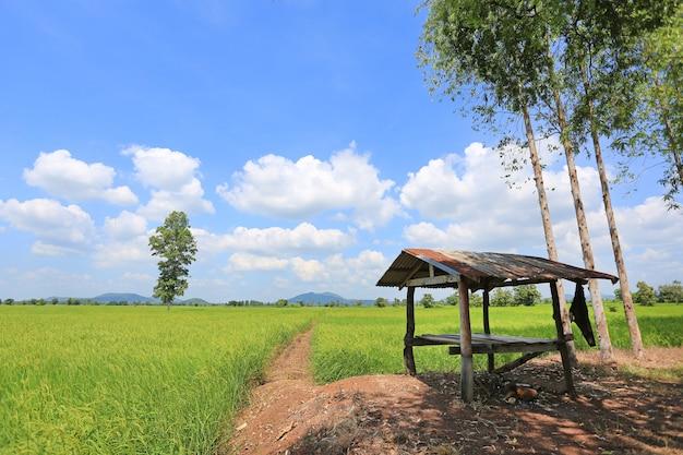 Nuble-se no céu azul no campo e na cabana verdes novos do arroz paddy.