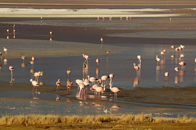 Numerosos flamingos cor-de-rosa em laguna colorada ou lagoa vermelha, altiplano boliviano, departamento de potosi da bolívia