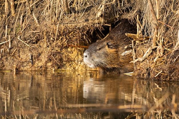 Nutria calmo que descansa na toca perto da água no verão.