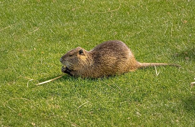 Nutria na grama do prado, comendo ração.