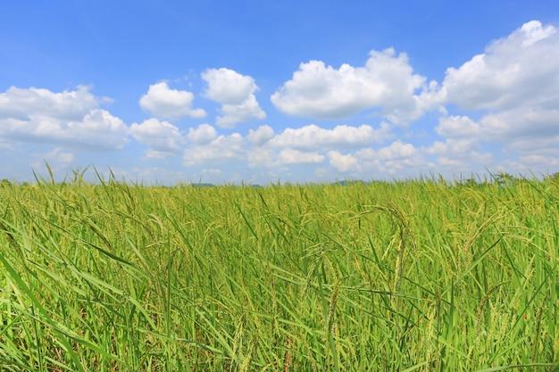 Nuvem inchado bonita no céu azul no campo e na árvore verdes novos do arroz