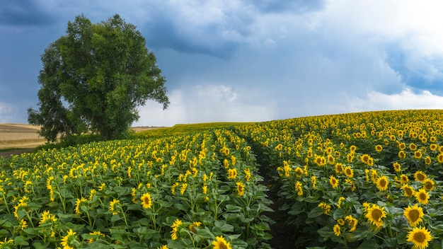 Nuvens de tempestade sobre um campo de girassol em flor.