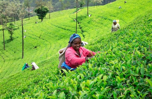 Nuwara eliya, sri lanka - mach 13: colhedora de chá feminina na plantação de chá em mackwoods, mach 13, 2017.tea industry.