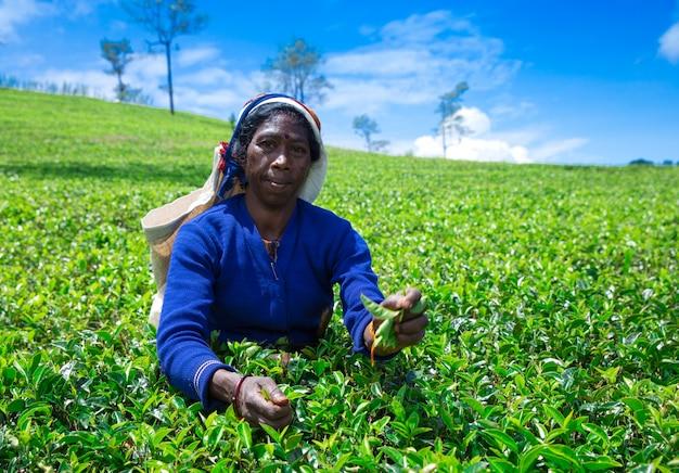 Nuwara eliya, sri lanka - mach 13: selecionador de chá feminino na plantação de chá em mackwoods, mach 13, 2017.tea indústria.