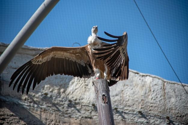 O abutre-grifo (gyps fulvus) é uma grande raça de abutre do velho mundo no zoológico