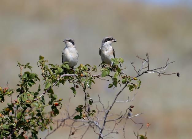 O adulto e o filhote o picanço cinza menor (lanius minor) estão sentados juntos em um galho de uma rosa brava