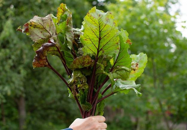O agricultor entrega um cacho fresco de beterraba orgânica e vegetais crus de uma cama de jardim
