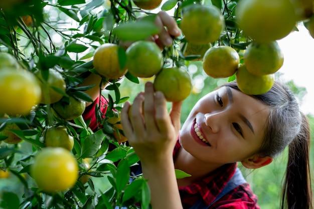 O agricultor está coletando laranja