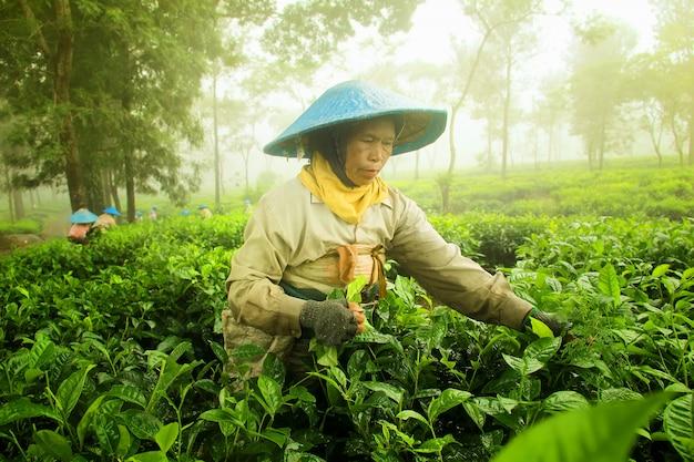 O agricultor está colhendo folhas de chá