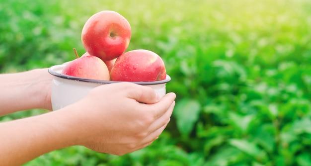 O agricultor está segurando maçãs frescas reunidas no jardim. colheita de outono e verão.