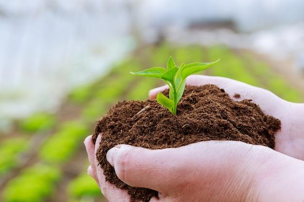 O agricultor segura o solo com mudas de pimenta nas mãos.