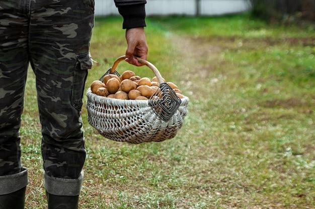 O agricultor tem em suas mãos batatas frescas em uma cesta, legumes orgânicos, close-up. o conceito de um jardim, casa de campo, colheita.