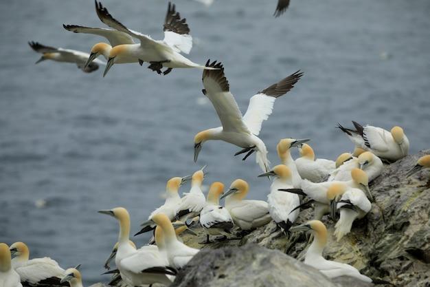 O albatroz do norte está tentando pousar. bass rock, north berwick. firth of forth, escócia. grã bretanha