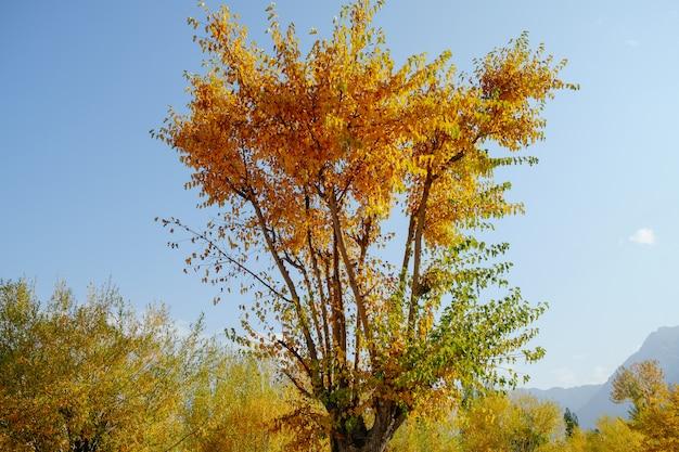 O amarelo deixa árvores na estação do outono contra o céu azul claro.